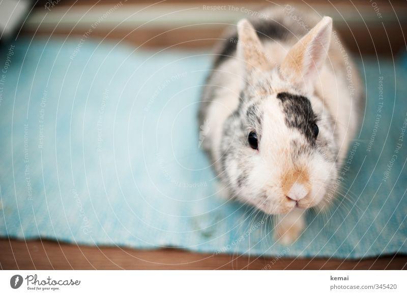 Montagshelmut Tier Haustier Tiergesicht Fell Zwergkaninchen Hase & Kaninchen Auge Nase Schnurrhaar Ohr 1 Blick sitzen schön klein Neugier niedlich Sympathie