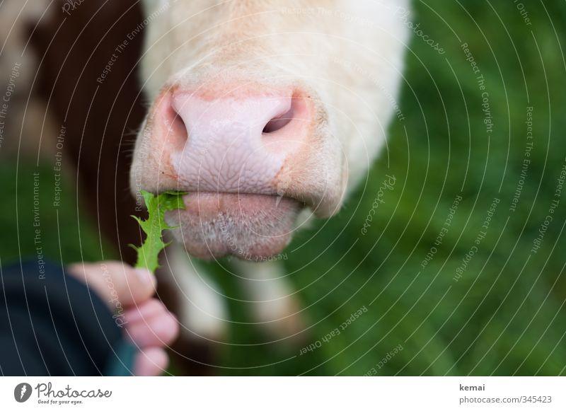 Pech für die Kuh Elsa | Der letzte Löwenzahn Natur Tier Wiese rosa geschlossen Finger Nase Kuh Fressen Nutztier füttern Maul Nüstern