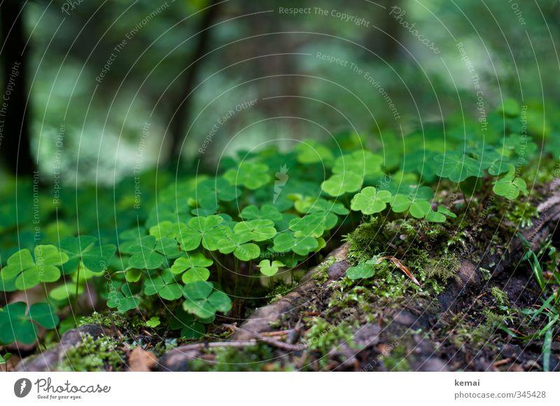 Waldglücksklee Umwelt Natur Pflanze Moos Klee Kleeblatt Wurzel Wachstum frisch niedlich schön viele grün Farbfoto Außenaufnahme Nahaufnahme Detailaufnahme