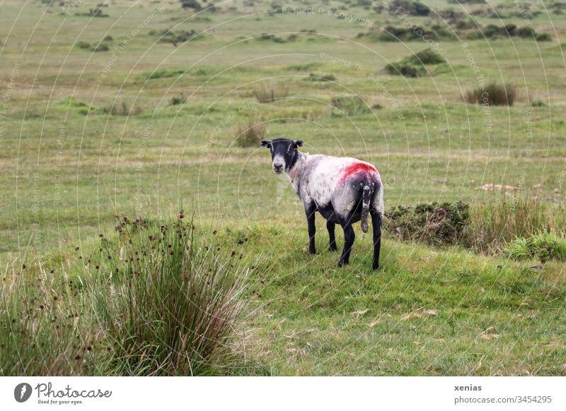 Schaf auf grüner Weide schaut zurück in Kamera Gras Wiese Tier Nutztier rot schwarz Tierporträt Farbfoto 1 Natur Landschaft Wolle Vieh auf dem Lande weiss