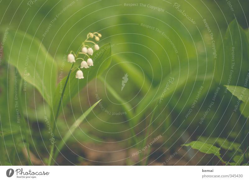 keMaiglöckchen Umwelt Natur Pflanze Blatt Blüte Wildpflanze klein niedlich grün weiß Farbfoto Gedeckte Farben Außenaufnahme Nahaufnahme Menschenleer