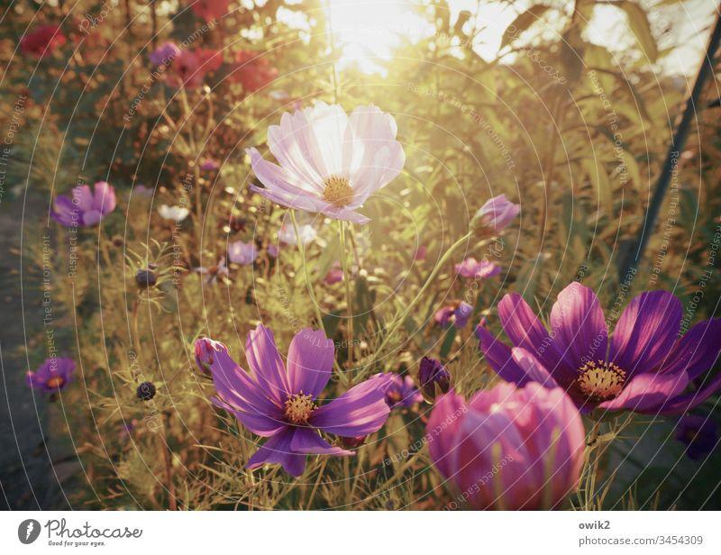 Ein Duft nach Sommer Cosmea Blumen Blüten blühend leuchtend leuchtende Farben Menschenleer Außenaufnahme Blühend Schwache Tiefenschärfe Nahaufnahme Natur