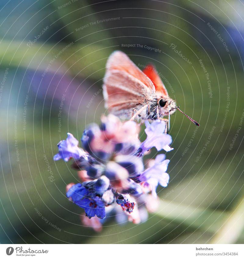 eine wunderhübsche kleinigkeit Wärme sommerlich leuchten Flieder hell schmetterlingsflieder Frühling Tier Pflanze Natur zart Sommer Schmetterling
