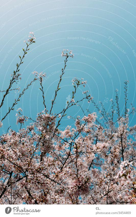 blühender baum im frühling Frühling Frühlingsgefühle Blauer Himmel wolkenlos Wolkenloser Himmel Schönes Wetter Natur Menschenleer Tag Außenaufnahme schön