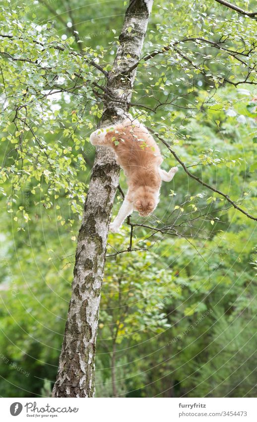 Maine Coon Katze springt von einem Baum herunter niedlich bezaubernd katzenhaft fluffig Fell Rassekatze Haustiere Langhaarige Katze Katzenbaby Creme-Tabby