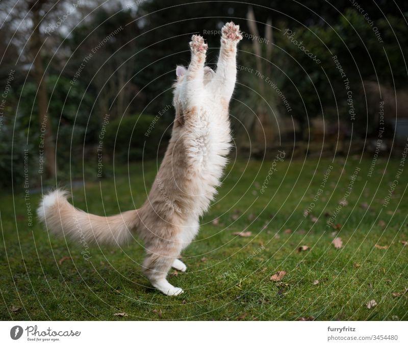 verspielte Maine Coon Katze springt in die Luft und streckt sich Katzenbaby fangend Ziselierung springend im Freien Genuss Energie Jagd Bewegung Aufstieg