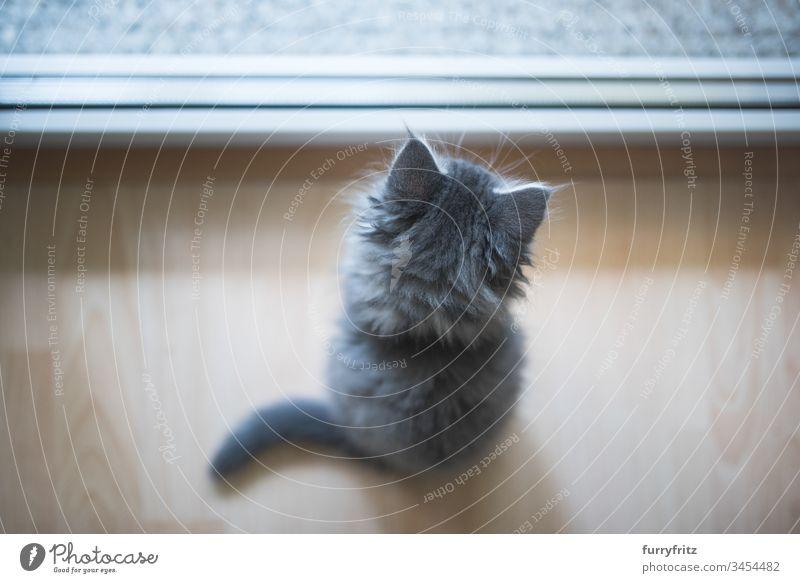 Kleines Maine Coon Kätzchen schaut aus dem Fenster 8-10 Wochen bezaubernd Wachsamkeit Tierhaare schön blau gestromt niedlich Hauskatze Erkundung katzenhaft