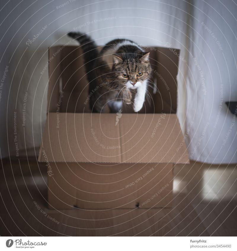 Katze springt aus einem Karton heraus Britisch Kurzhaar Faltschachtel springend Bewegung im Innenbereich Aktivität tierisches Auge Tierhaare bsh Textfreiraum
