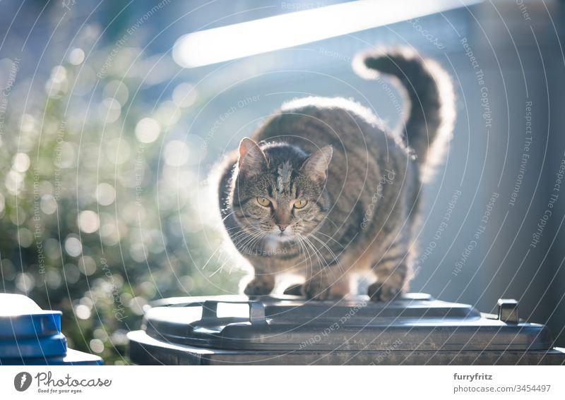 gestromte Kurzhaarkatze, die im Sonnenlicht auf einem Mülleimer steht Katze beobachtend im Freien herabsehend tierisches Auge Bokeh Hauskatze katzenhaft