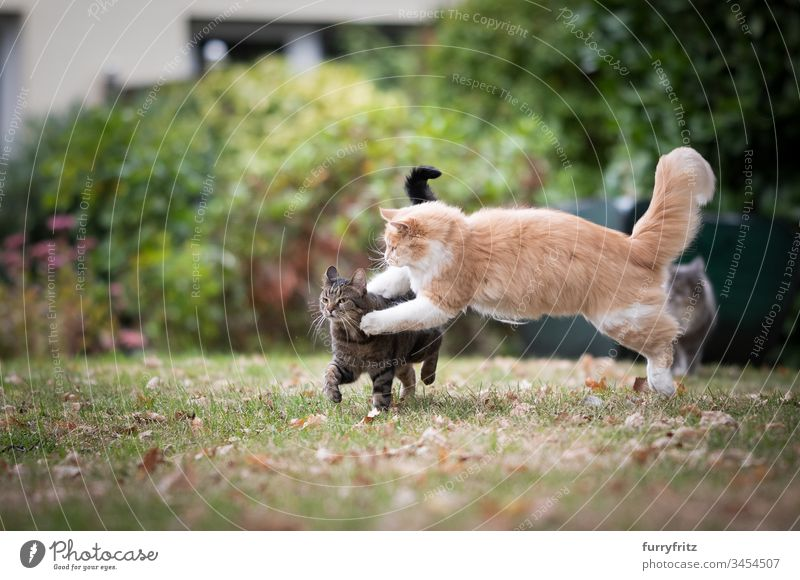 zwei verspielte Katzen kämpfen im Garten katzenhaft Fell fluffig Rassekatze Haustiere Maine Coon Langhaarige Katze weiß Creme-Tabby Hirschkalb beige