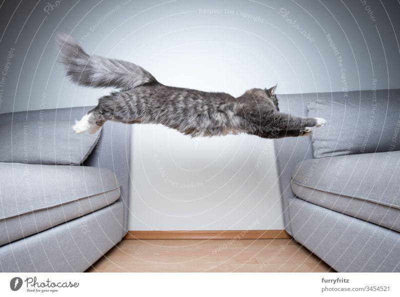 Maine Coon Katze springt über das Sofa im Innenbereich weiß Pfote Langhaarige Katze Rassekatze blau gestromt fluffig katzenhaft Fell Katzenbaby niedlich schön