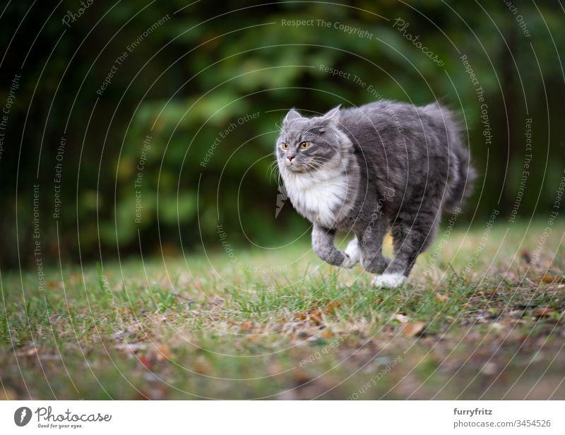 Maine Coon Katze rennt über die Wiese niedlich bezaubernd schön katzenhaft fluffig Fell Rassekatze Haustiere Langhaarige Katze weiß blau gestromt Ein Tier