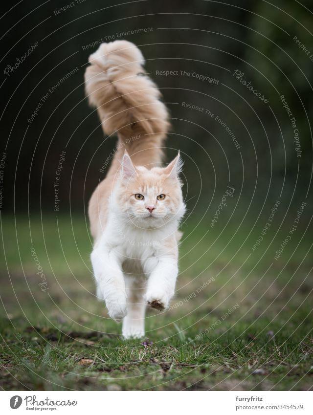 Maine Coon Katze mit großem, flauschigem Schwanz rennt über die Wiese niedlich bezaubernd schön fluffig katzenhaft Fell Katzenbaby Rassekatze Langhaarige Katze