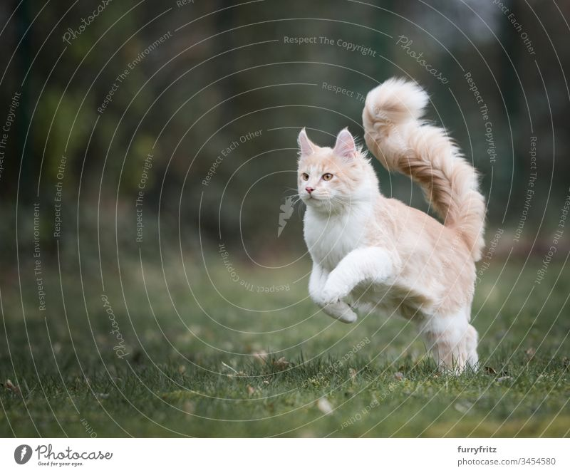 Maine Coon Katze mit flauschigem Schwanz rennt durch den Garten niedlich schön fluffig Fell Katzenbaby Rassekatze Langhaarige Katze Creme-Tabby beige Hirschkalb