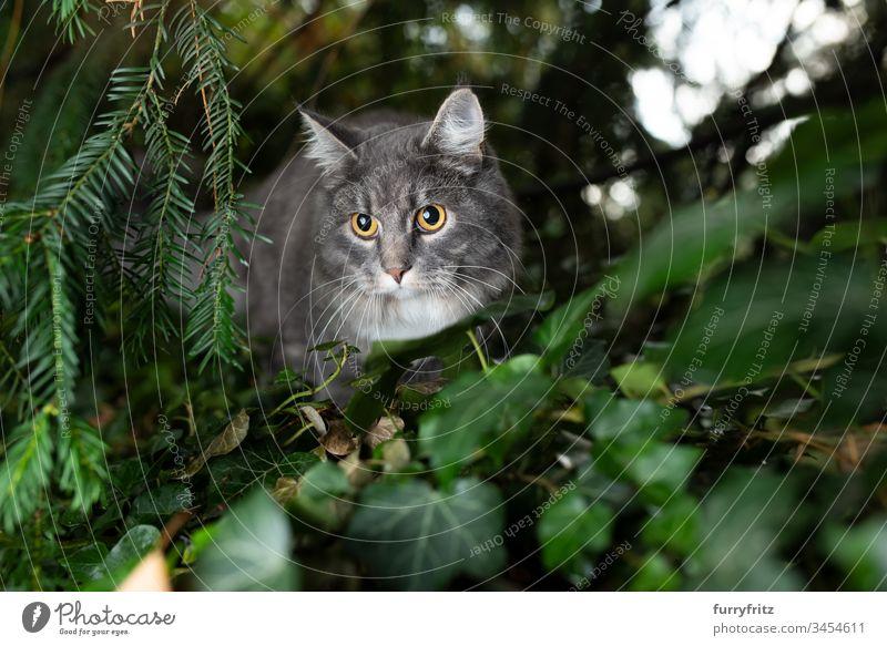 Maine Coon Katze versteckt sich im Gebüsch und beobachtet im Freien Ein Tier Vorder- oder Hinterhof Garten Natur Botanik Pflanzen Langhaarige Katze Rassekatze