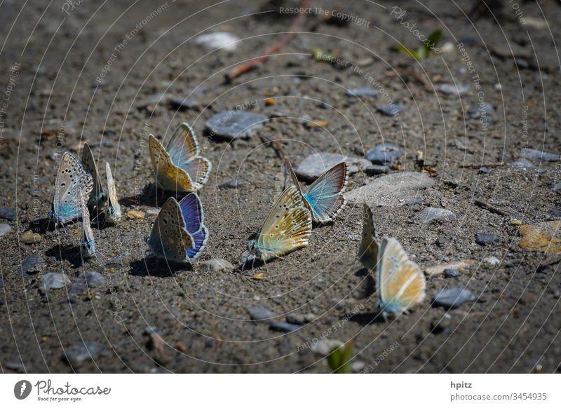 Flugpause für Schmetterlinge Farbfoto fliegen blau schmetterlinge Außenaufnahme Nahaufnahme Natur Flügel