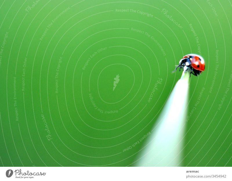 Balanceakt eines Marienkäfers auf einem Halm grün Tier Insekt Gras alleine Spitze Käfer Nahaufnahme Makroaufnahme rot krabbeln Farbfoto Außenaufnahme Tag Glück
