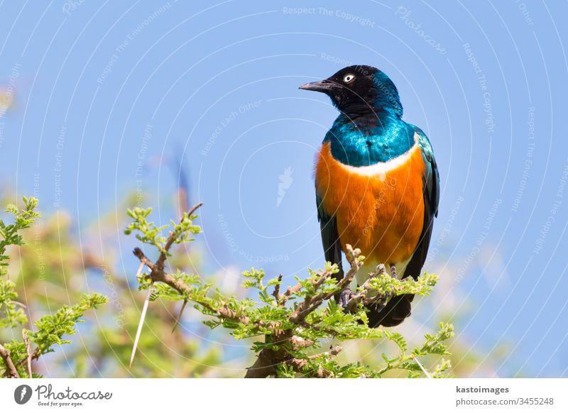 Superb Starling Bird, Lamprotornis superbus. Vogel Natur Tierwelt blau Hervorragend wild Afrika Schnabel grün farbenfroh Flügel Baum hell schön natürlich