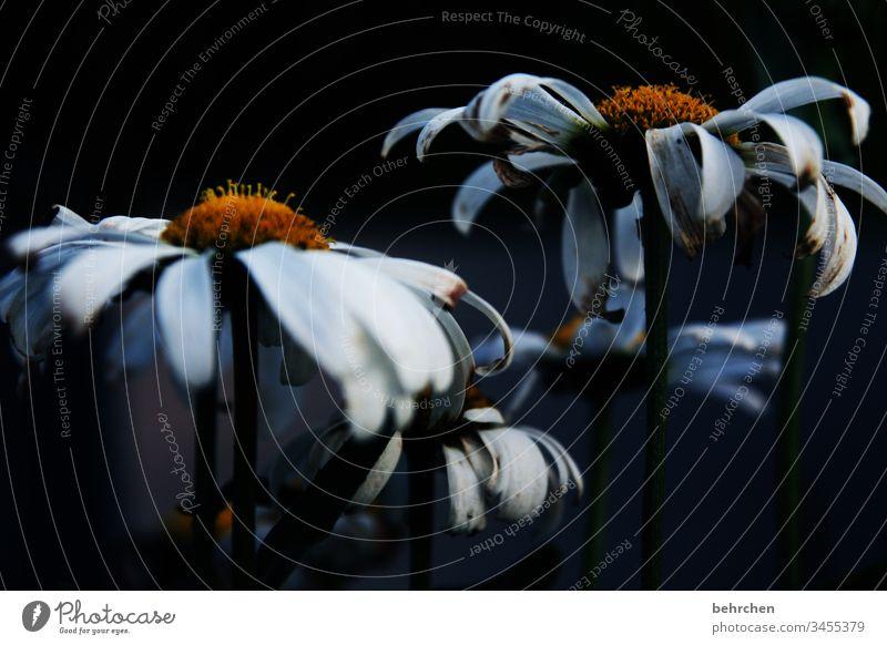 trauer Garten Blütenblätter Blütenblatt verwelkt Ende Hoffnungslosigkeit Trostlosigkeit trostlos dunkel Blume Margarite Tod sterben verblühen traurig