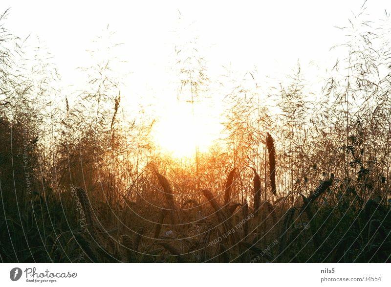 Blick durchs Kornfeld glänzend Physik heiß Sommertag Morgen Durchleuchten Wärme