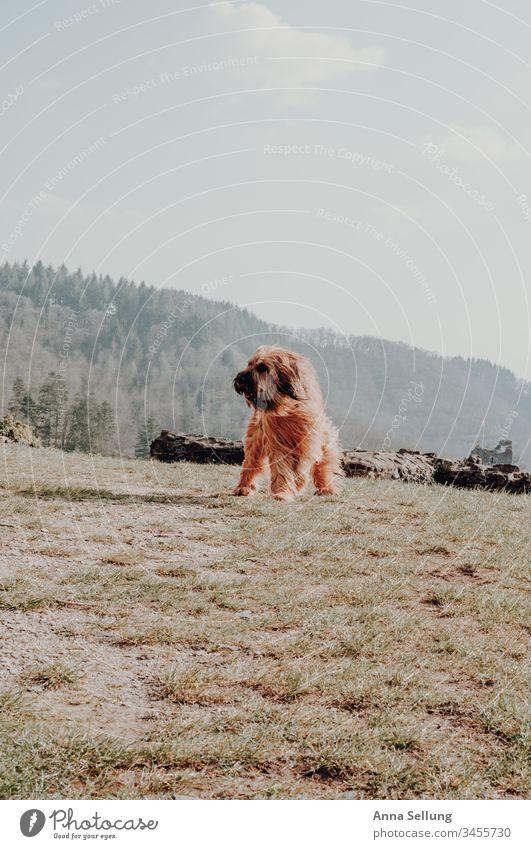 Hund mit langem rötlichen Haar am spielen im Wind und Sonne in der Landschaft Haustier Tier Tierliebe Menschenleer Farbfoto spielerisch Spielen Freizeit & Hobby