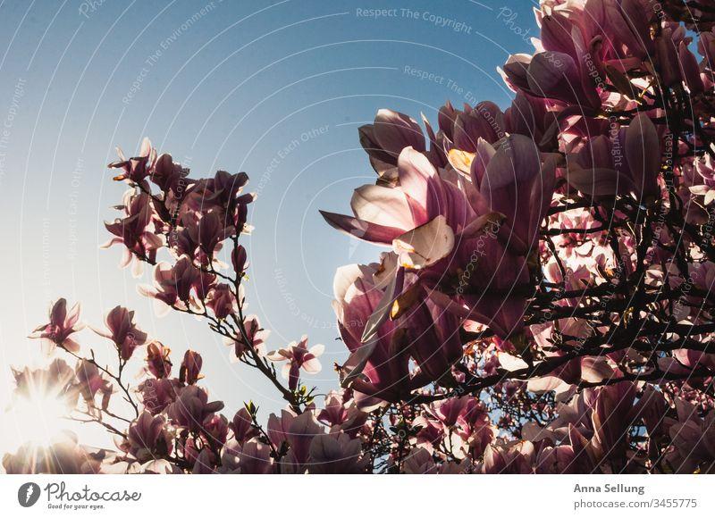 Magnolien im Glanz der Abendsonne bei blauem wolkenlosem Himmel Magnolienblüte rosa lila Blütenpflanze Baum Blühend Frühling Frühlingsgefühle Frühlingsblume