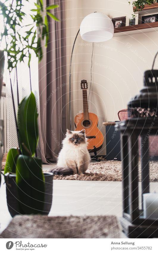 gefangen vom Blick einer Katze die mitten im Wohnzimmer sitzt beobachten Blick in die Kamera skeptisch Hauskatze heilige Birma Birma Katze Menschenleer