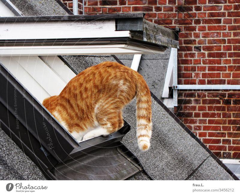 Wenn ihr roter Kater seine Kletterübungen auf der Dachschräge beendete, hatte sie zumeist ein graues Haar mehr auf dem Kopf. Katze Dachfenster Klettern mutig
