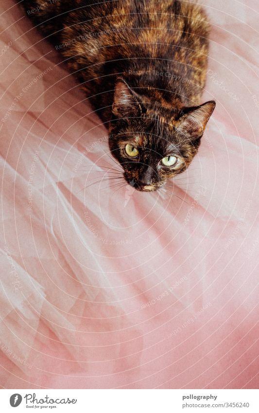 Katze sitzt auf Tüllrock und schaut neugierig in die Kamera Buchcover Motiv cateye Katzenkopf Tier Haustier Fell Tierporträt Hauskatze Farbfoto beobachten