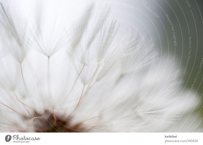Die Leichtigkeit des Seins ... Umwelt Natur Pflanze Tier Frühling Sommer Löwenzahn Garten Park Wiese natürlich schön weich Frühlingsgefühle Farbfoto