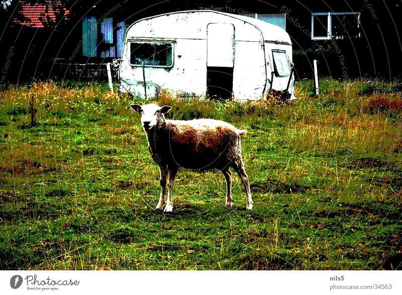Einsames Schaf auf Weide alt Gras Verkehr Hütte Weide Schaf Wolle Wohnwagen