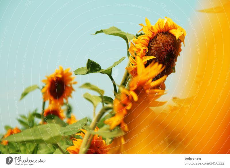 leuchtende tage farbenfroh Natur Landschaft Sonne Sommer Blume Blüte Nutzpflanze Sonnenblume Blütenblatt Garten Wiese Feld Wärme gelb schön sommerlich