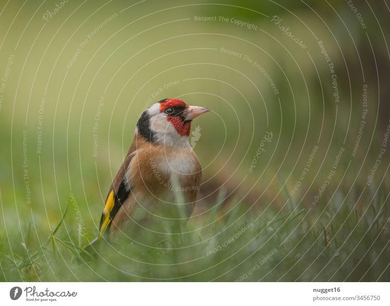 Sieglitz im Gras Stieglitz Diestelfink Vogel Zugvogel Farbfoto Außenaufnahme Tag Tier Natur Menschenleer Wildtier fliegen Himmel Schwarm frei Umwelt natürlich