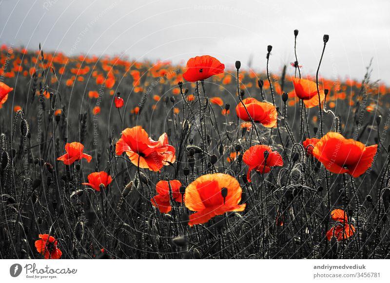 Wunderschöner Mohn auf schwarzem und weißem Hintergrund. Blumen Roter Mohn blüht auf wildem Feld. Wunderschöner feldroter Mohn mit selektivem Fokus. Rote Mohnblumen in weichem Licht