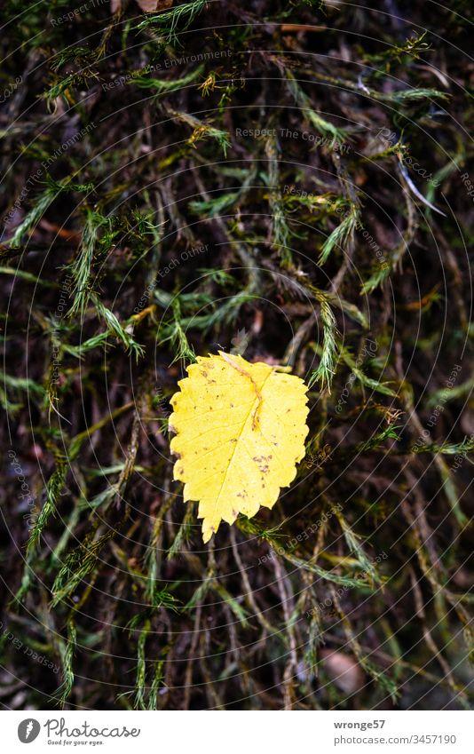 Ein kleines gelbes Blatt einer Birke ruht im Herbst auf einem weichem Polster grünen Mooses und wartet auf eine winzige Aufmerksamkeit der vorüber ziehenden Kameraträger