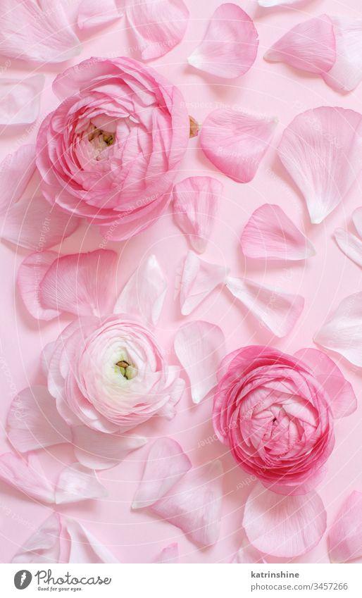 Rosa Hahnenfußblüten und Blütenblätter auf einem hellrosa Hintergrund Blume Ranunculus Frühling romantisch Monochrom Pastell flache Verlegung Zusammensetzung
