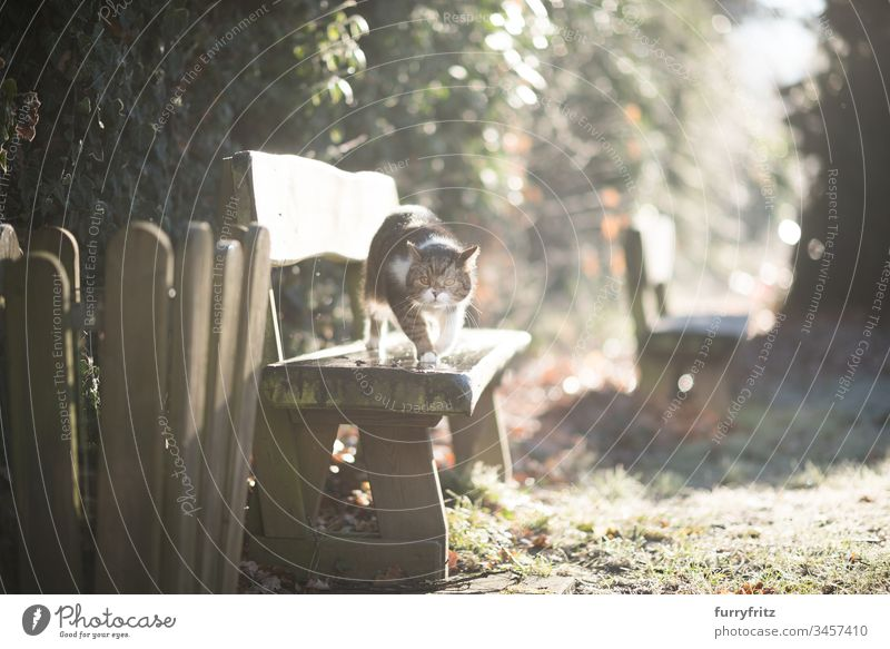 Katze läuft über eine Holzbank im Sonnenlicht im Garten Britisch Kurzhaar im Freien Hintergrundbeleuchtung Bokeh tierisches Auge Tierhaare Bank Hauskatze