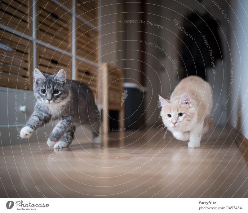 zwei verspielte Maine Coon Kätzchen rennen durch den Flur keine Menschen weiße Farbe Zwei Tiere Aktivität Energie Vitalität Genuss Ziselierung schnell