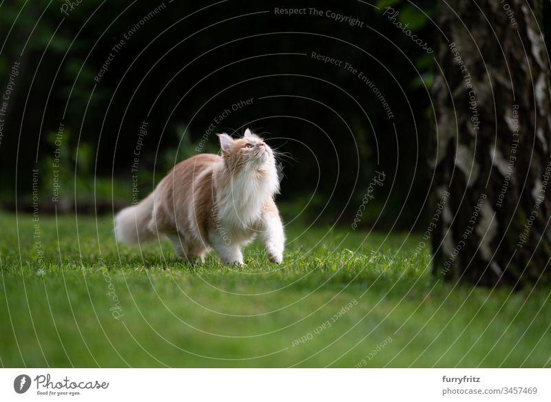 Maine Coon Katze sieht an einem Baum nach oben niedlich schön Katzenbaby fluffig Fell junge Katze Bokeh im Freien Sommer Natur Botanik Wachsamkeit Neugier