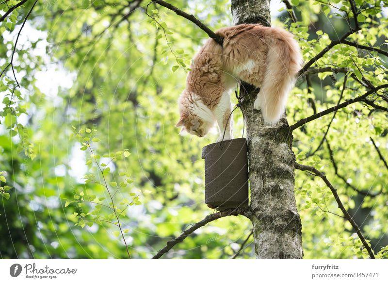 Maine Coon Katze klettert auf einen Baum um an ein Vogelhaus zu kommen niedlich schön Katzenbaby fluffig Fell junge Katze Bokeh im Freien Selektiver Fokus
