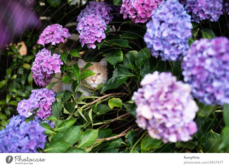 Maine Coon Katze versteckt sich in einer blühenden Hortensie Natur Botanik Pflanzen purpur Vorder- oder Hinterhof Garten Natursteinmauer Blätter Blume Blüte