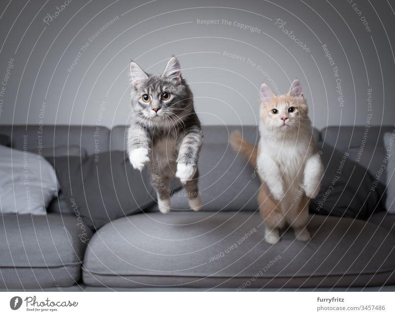 Zwei junge Maine Coon Katzen springen gleichzeitig von einem Sofa ab springend Kätzchen Bewegung Air blau gestromt fangend Ziselierung Liege Creme-Tabby Kissen