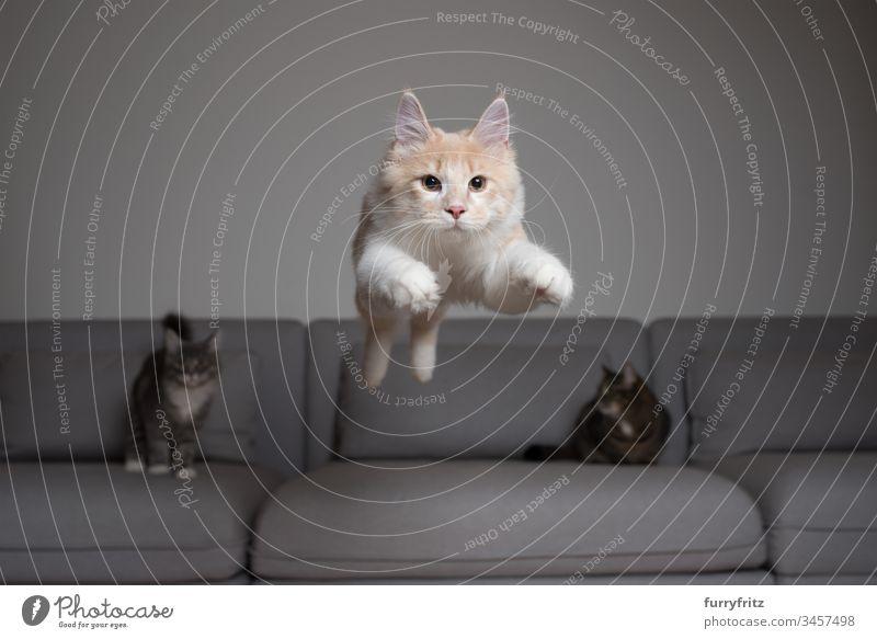 Maine Coon Katze springt über das Sofa, zwei andere Katzen sehen zu Katzenbaby Hauskatze springend Air Liege fangend Creme-Tabby Ziselierung Kissen niedlich