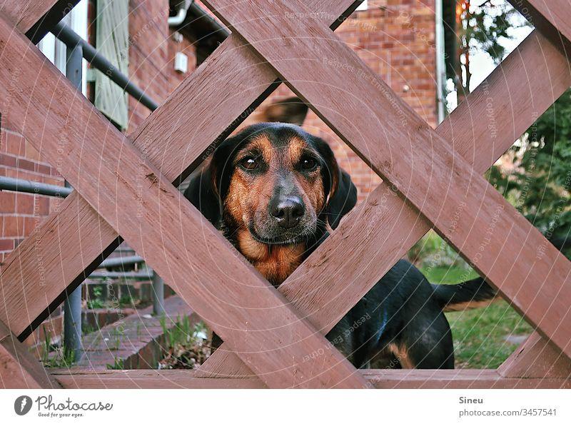 Hinter Gittern Hund Haustier Tiergesicht Blick treue Hundeaugen Vertrauen Garten Gartenzaun eingesperrt streichel mich Außenaufnahme Farbfoto Menschenleer
