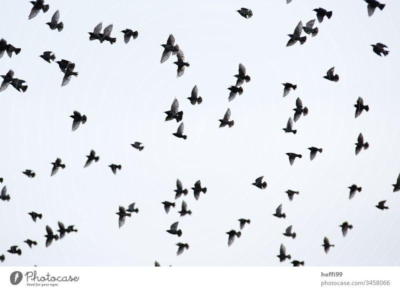 ein Schwarm Stare im Flug Vögel Vogel fliegen wegfliegen Wildtier Horizont Küste grau Wolken Nationalpark Tier Vogelschwarm Vogelflug Natur Tiergruppe Flügel