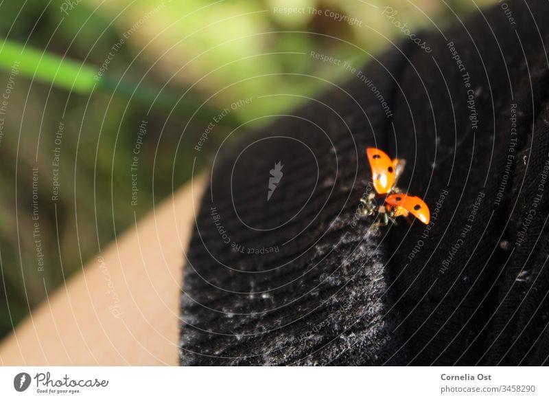 Marienkäfer kurz vor dem Abflug Käfer rot Tier Insekt Punkt Natur krabbeln Farbfoto Außenaufnahme gepunktet klein