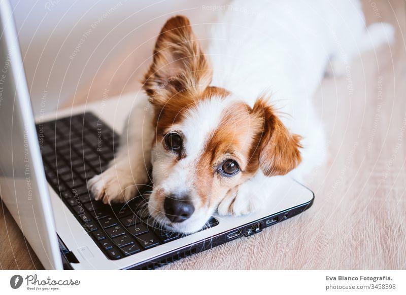 Der süße Jack-Russell-Hund arbeitet zu Hause am Laptop. Zu Hause bleiben. Technologie und Lebensstil im Innenbereich Konzept arbeiten Technik & Technologie