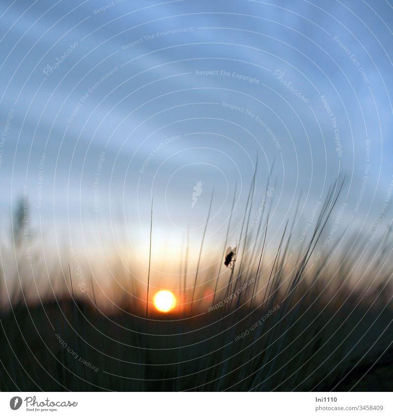 untergehende Sonne blauer Himmel Silhouette einer Fliege sitzend auf Kornähre Sommerabend Sonnenuntergang Feuerball blauer Himmel mit Wolken menschenleer 1 Tier