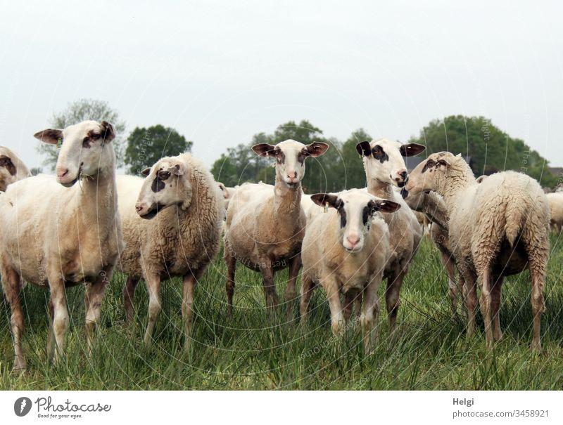 neugierige Schafe im Moor stehen auf einer Wiese, zwei schauen in die Kamera, die anderen schauen desinteressiert weg Schafherde Moorschaf Herde Nutztier Tier