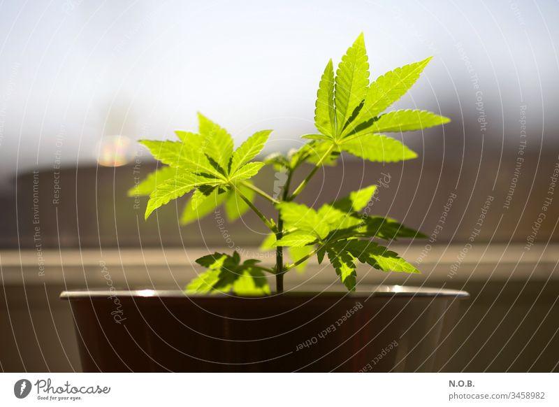 Hanf auf der Fensterbank. Homegrow. Marihuana Legalisierung Cannabis Rauschmittel Medikament Pflanze grün Alternativmedizin Nutzpflanze Natur Wachstum Farbfoto